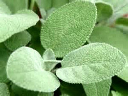 Sage (Dalmation), Essential Oil