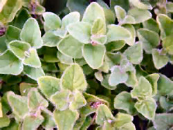 Marjoram, Essential Oil