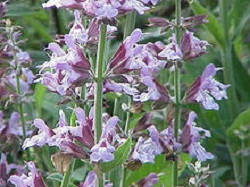 Sage Officinalis, Essential Oil