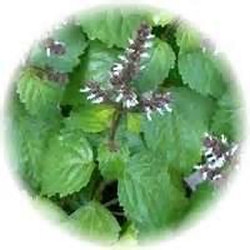 Sweet Patchouli, Essential Oil